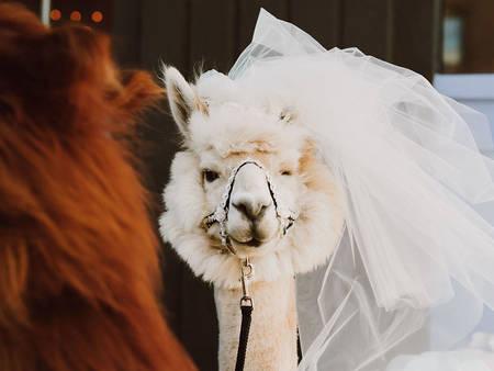 超萌草尼馬伴娘出動!整場婚禮就給牠們當主角就好啦XD